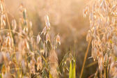 Oat in the field — Stock Photo