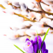 Crocus closeup on pussy willow background. Spring concept — Stock Photo