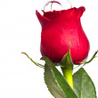 Red rose with silver rings — Stock Photo