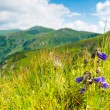 Carpathians bells — Stock Photo