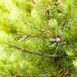 Cone on pine - Stock Photo