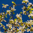 Blossoming of magnolia flowers in spring time — Stock Photo #10692771