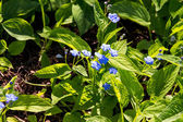 Forget me not blooming flowers and petals — Stock Photo
