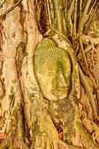 Hlava buddhy v kořeny stromů — Stock fotografie