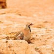 Partridge (Alectoris rufa). — Stock Photo