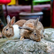 Rabbit — Stock Photo #8778101