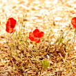 Summer landscape, wild poppy flowers field. — Stock Photo