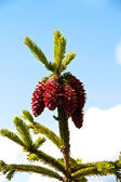 Fir tree with pine-cones — Stock Photo