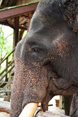 Portrait of an elephant — Stock Photo