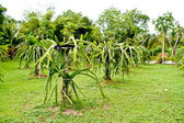 Dragon Fruit Plantation — Stock Photo