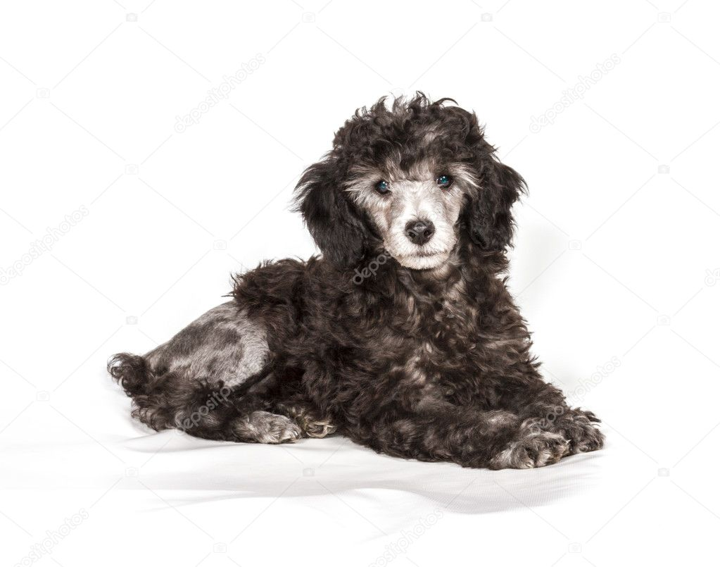 Poodle in front of white background — Stock Photo #9612282