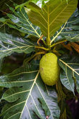 Jack Fruit hanging on the tree in Thailand — Stock Photo