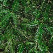 Background of spruce branches — Stock Photo #8274599