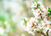 Cherry blossoms — Stock Photo