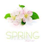 Apple blossoms — Stock Photo