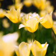Beautiful tulips - Stockfoto