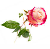 Single pink rose — Stock Photo