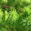 Stock Photo: Branch of coniferous tree