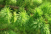 Branch of a coniferous tree — Stock Photo