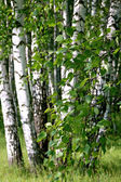 Ramo de uma árvore de vidoeiro — Foto Stock