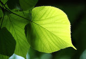 Green leaf glowing in sunlight — Stock Photo