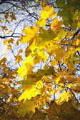 Leaves of autumn maple — Stock Photo
