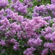 Blossoming lilac - Stock Photo