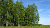 Edge of birch forest — Stock Photo
