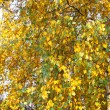 Autumn leaves of birch tree - Stock Photo