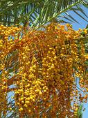 Fruit of palm — Stock Photo