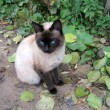 Foto Stock: Siamese cat