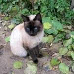 gatto siamese — Foto Stock