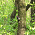 Woodpecker — Stock Photo #10314814