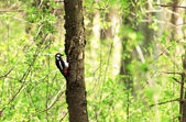 Woodpecker — Stock Photo