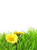 Geïsoleerde groen gras met gele bloemen — Stockfoto