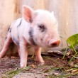 Stock Photo: Close-up of a cute muddy piglet running around outdoors on the f
