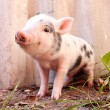 Постер, плакат: Close up of a cute muddy piglet running around outdoors on the f