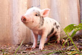 Close-up of a cute muddy piglet running around outdoors on the f — Foto Stock