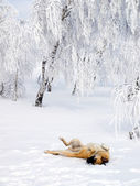 Dog playing in snow. — Stock Photo