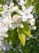 Kwitnąca jabłko. — Zdjęcie stockowe