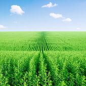 Céu e campo de girassol verde. — Foto Stock