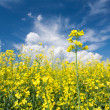 Flowering canola or rapeseed field — Stock Photo #10664229