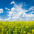 Stock Photo: Flowering canola or rapeseed field