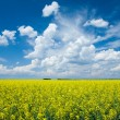 Flowering canola or rapeseed field — ストック写真