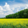 Blooming canola in front of a forest - Stock Photo