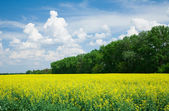 Blooming canola in front of a forest — Stok fotoğraf