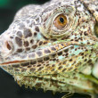 Stock Photo: Lizard reptile