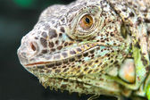 Lizard reptile — Stock Photo