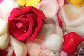 Petals of roses flower — Stock Photo