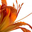 Flower lily — Stock Photo #8820465